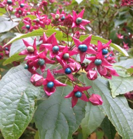 Clerodendrum trichotomum 'Fargesii'