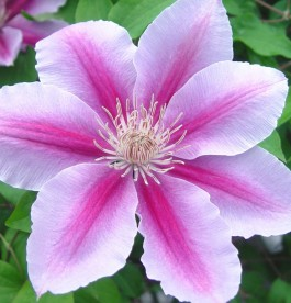 Clematis 'Bees Jubilee' - Iszalag