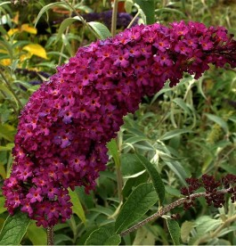 Buddleja davidii Royal Red - nyáriorgona