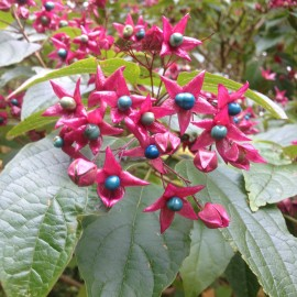 Clerodendrum trichotomum Fargesii - végzetfa