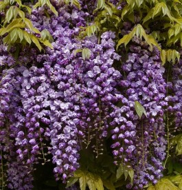 Wisteria floribunda 'Black Dragon'