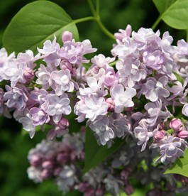 Syringa vulgaris Katherine Havemeyer - Orgona