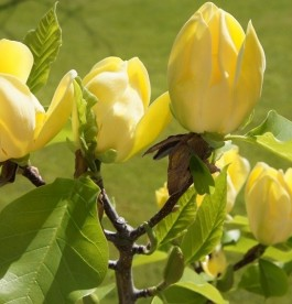 Magnolia 'Yellow Bird' - Liliomfa