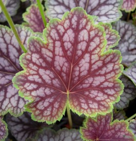 Heuchera 'Beauty Color' - Tűzeső