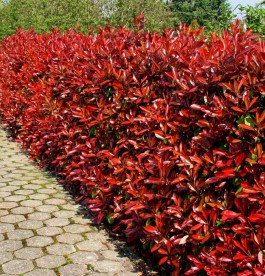Photinia Red Robin - Korallberkenye
