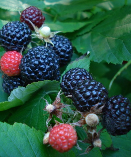 Rubus occidentalis Black Jewel - Fekete málna