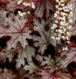 Heucherella Craced Ice - Turbáncső