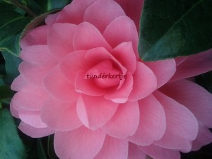 Camelia 'Water Lily'