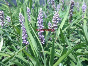 Liriope muscari 'Moneymaker'