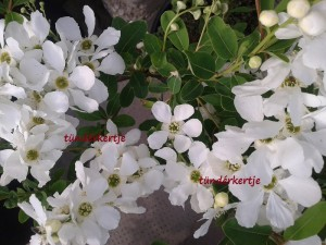 Exochorda racemosa 'The Bride'