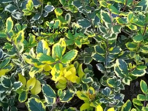 Ilex altaclarensis 'Golden King'