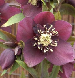 Helleborus 'Pretty Ellen Red'
