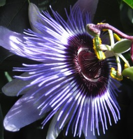 Passiflora 'Purple Haze' - Golgotavirág