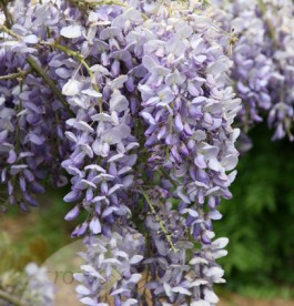 Wisteria sinensis 'Amethyst' - Lilaakác