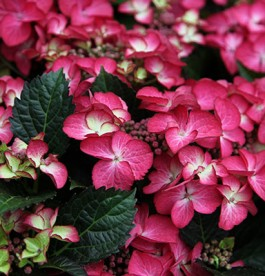 Hydrangea macrophylla Black Diamond 'Red Angel' - Kerti Hortenzia