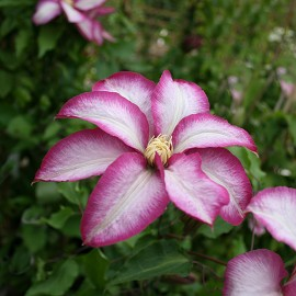 Clematis 'Betty Risdon' - Iszalag