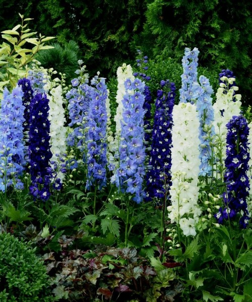 Delphinium 'Excalibur Light Blue/White Bee' -  Kerti szarkaláb