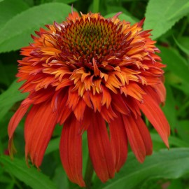 Echinacea purpurea Hot Papaya - Bíbor kasvirág