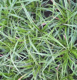 Carex morrowi 'Aureovariegata' - Tarka sás
