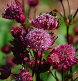 Astrantia major 'Ruby Cloud' - Nagy völgycsillag