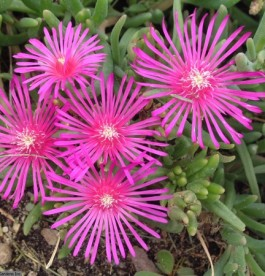 Delosperma Table Mountain - Kristályvirág
