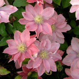 Clematis 'Little Mermaid' - Iszalag