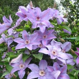 Clematis 'Minister' - Iszalag