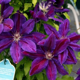 Clematis 'Wildfire' - Iszalag