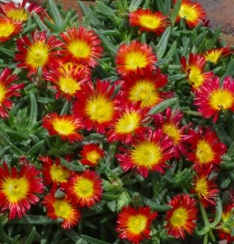 Delosperma 'Wheels of Wonder Fire Wonder' - Kristályvirág'
