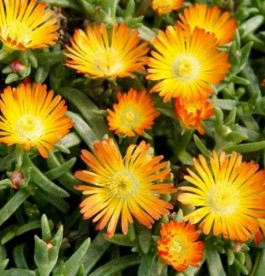 Delosperma 'Wheels of Wonder Orange Wonder' - Kristályvirág'