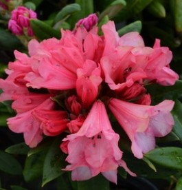 Rhododendron 'Winsome' - Törpe havasszépe