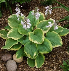 Hosta Fragrant Bouquet - Árnyékliliom