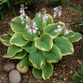 Hosta 'Fragrant Bouquet' - Árnyékliliom