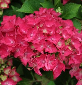 Hydrangea macrophylla 'Hot Red' - Kerti Hortenzia