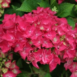 Hydrangea macrophylla Hot Red - Kerti Hortenzia