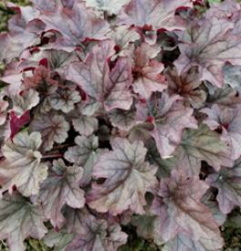 Heuchera Huckleberry - Tűzeső