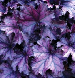 Heuchera 'Forever Purple' - Tűzeső