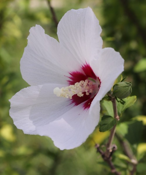 Hibiscus syriacus 'Red Heart' - Mályvacserje