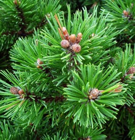 Pinus mugo Little Lady – Törpefenyő