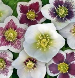 Helleborus orientalis Magic White - Hunyor