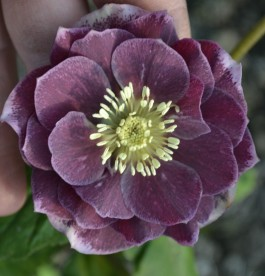 Helleborus orientalis Magic Double Aubergine - Hunyor