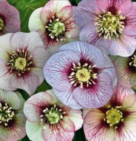Helleborus orientalis Magic Picotee - Hunyor