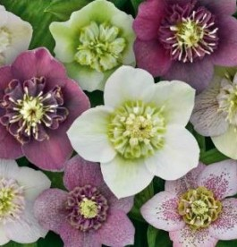 Helleborus orientalis Magic Anemone - Hunyor