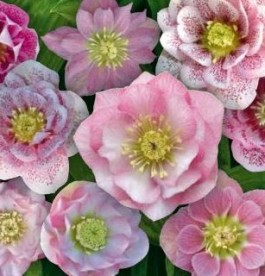 Helleborus orientalis Magic Double Pink - Hunyor