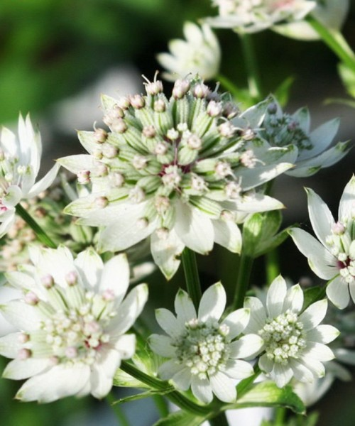 Astrantia major Star of Billion - Nagy völgycsillag