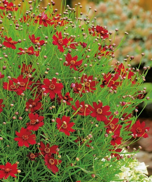 Coreopsis verticillata Ruby Red