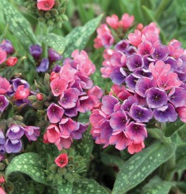 Pulmonaria Raspberry Splash - Édes tüdőfű