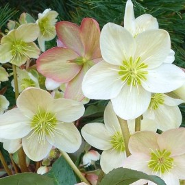 Helleborus x nigercors Winter Magic Candy Love - Hunyor