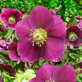 Helleborus orientalis Single Red - Hunyor