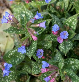 Pulmonaria Trevi Fountain - Édes tüdőfű